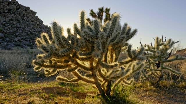 joshua tree national park, kalifornien, vereinigte staaten. kakteen und ein joshua-baum bei sonnenuntergang. sonnenstrahlen durch. v-log steadicam schuss, 4k - südwesten stock-videos und b-roll-filmmaterial