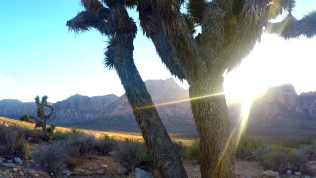 albero di giosuè - red rock canyon national conservation area video stock e b–roll