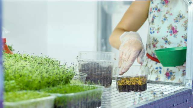 saftiga och unga groddar av mikrogrönsaker i växthuset. växande frön. hälsosam kost - pea sprouts bildbanksvideor och videomaterial från bakom kulisserna