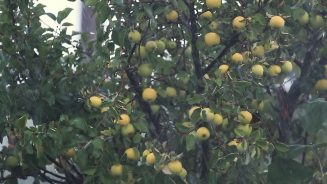 Juicy beautiful amazing nice apples on the tree branch in the shower rain with light breeze. Shallow depth of the field, slow motion toned video, 50fps. video