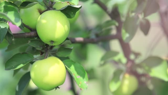 Juicy beautiful amazing nice apples on the tree branch, sunny summer good day video
