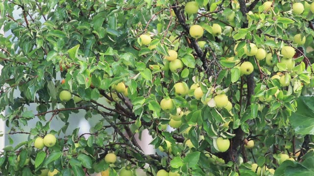 Juicy beautiful amazing nice apples on the tree branch, sunny summer good day with light breeze and rain. Shallow depth of the field, toned video, 50fps. video