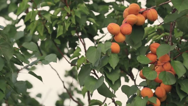 juicy beautiful amazing nice apricot fruit on the tree branch, sunny summer good day with light breeze. shallow depth of the field, toned video, 50fps. - albicocco video stock e b–roll