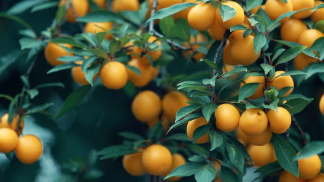 juicy beautiful amazing nice cherry plum, myrobalan plum fruit on the tree branch, sunny summer good day with light breeze. shallow depth of the field, toned video, 50fps. - albicocco video stock e b–roll