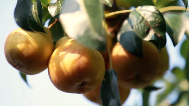 Juicy beautiful amazing nice pears on the tree branch video
