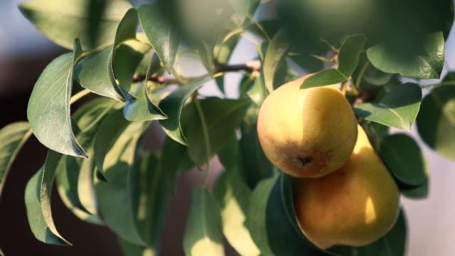 Juicy beautiful amazing nice pears on the tree branch