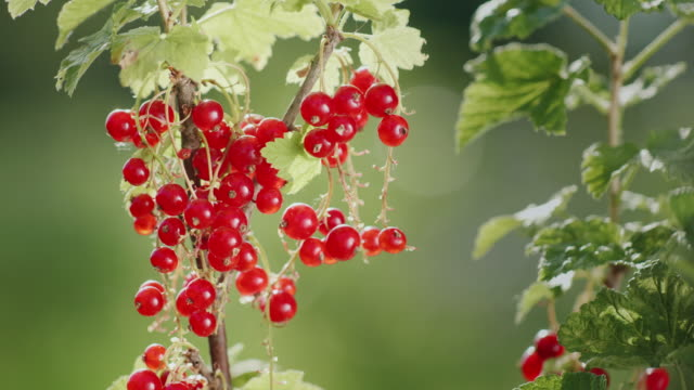 Juicy berries of red currant. They sing in the sun video
