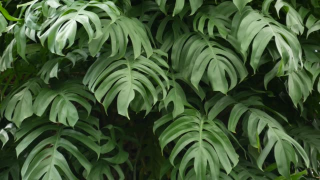 Juicy exotic tropical monstera leaves texture backdrop, copyspace. Lush foliage, greenery in paradise garden. Abstract natural dark green jungle vegetation background pattern, wild summer rain forest.