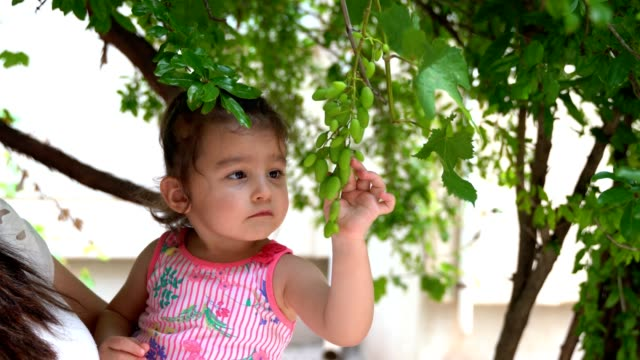 Juicy fresh branch of grapes handing on a grape vine. Fresh juicy fruits. Collecting grapes. Grape harvest. Kid's hand plucking grape. Child's hand breaking the vine.
