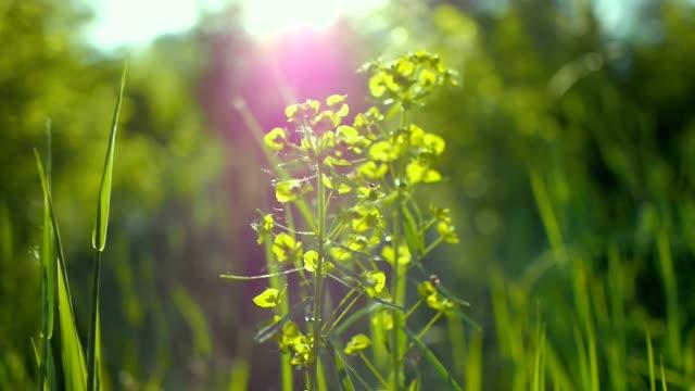 stockvideo's en b-roll-footage met sappig groen gras macro zon schijnt door de bladeren van het gras mooi achtergrond macro lente zomer landschap mooi zonlicht dauw op het gras - venkel