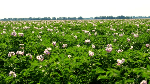 juicy green, pink blossoming potato bushes planted in rows on a farm field. potato growing. Agriculture. summer sunny day video