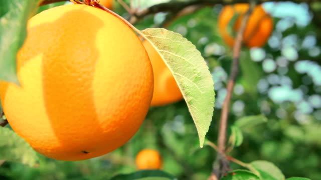 saftig apelsin på orange träd gren närbild - apelsin bildbanksvideor och videomaterial från bakom kulisserna