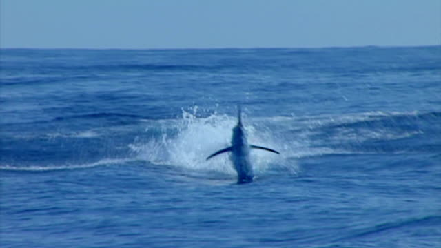 jumping blue marlin - fishing stock videos and b-roll footage