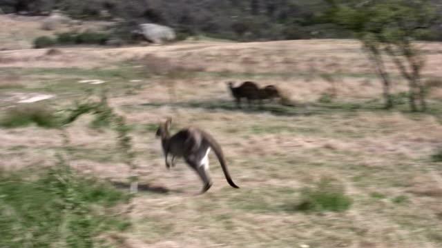 Jumping Kangaroo video