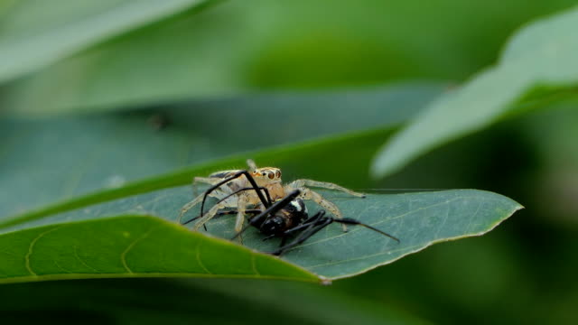 Jumping spider biting prey on leaves. video