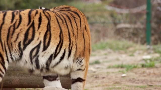 vídeos y material grabado en eventos de stock de salto del tigre. - tigre