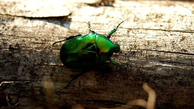 june beetle on the tree trunk - жук стоковые видео и кадры b-roll