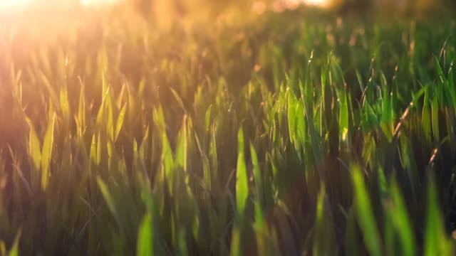 Trigo de Jung debe mover por el viento en llamaradas de luz puesta del sol de primavera noche. Profundidad de campo de cerca - vídeo