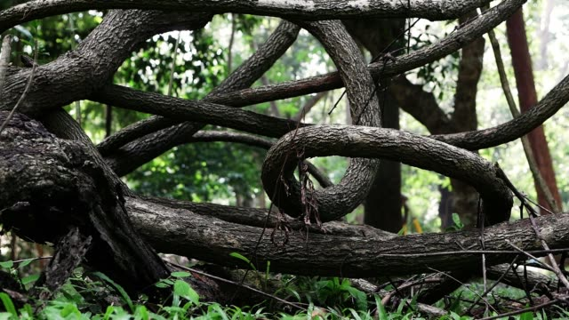 Jungle lianas dark vines plant on forest trees nature background.