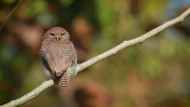 jungle owlet in bardia national park, nepal - park narodowy kanha filmów i materiałów b-roll