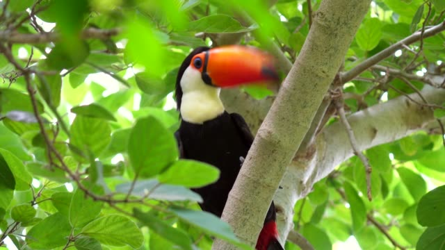 jungle toucan in forest tree top canopy video