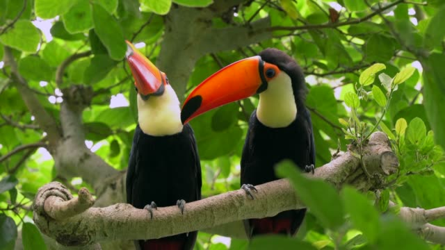 jungle toucan pair in forest tree top canopy video