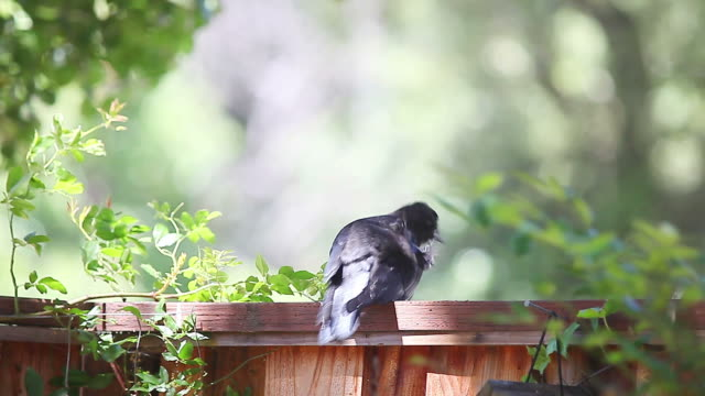 juvenile crow on suburban fence - appollaiarsi video stock e b–roll