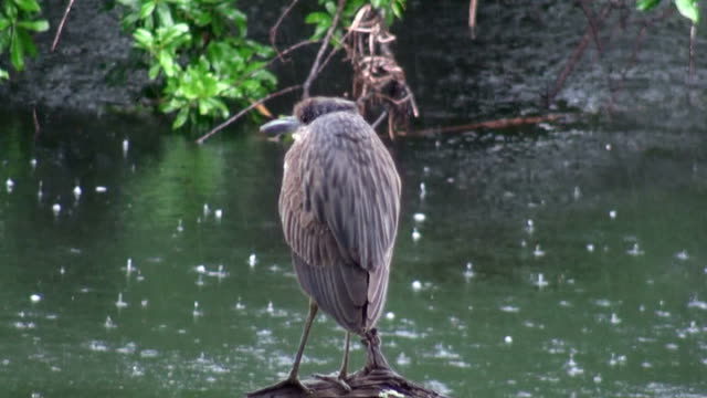 Juvenile Night Heron Waits For The Rain To End A Juvenile Yellow-crowned Night Heron, Nyctanassa violacea, waits for the rain to end to leave her river perch over the historic Hillsborough River, Sulphur Springs, Florida. PAL Format water bird stock videos & royalty-free footage