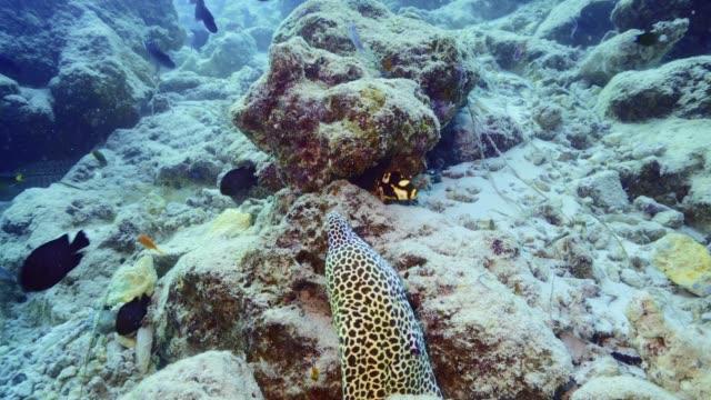 vídeos de stock, filmes e b-roll de doces orientais juvenis dançando na frente de uma enguia de leopardo manchada nas maldivas - equipamento de esporte aquático