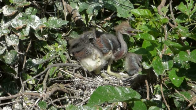 Juvenile Tricolored Herons in Their Nest video