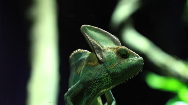 Juvenile Veiled Chameleon (Chameleo calyptratus) in jungle scene.