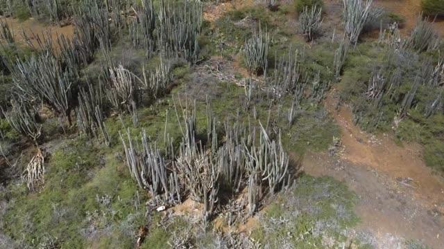 kadushi (cereus repandus) oder kaktus auf bonaire island - sportliga stock-videos und b-roll-filmmaterial