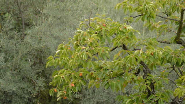 vídeos de stock e filmes b-roll de kaki tree with kakis fruits - diospiro