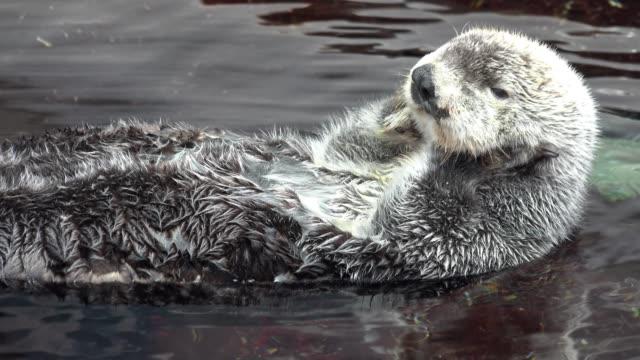vídeos y material grabado en eventos de stock de nutria de mar kalan nada de espaldas en el agua - peludo