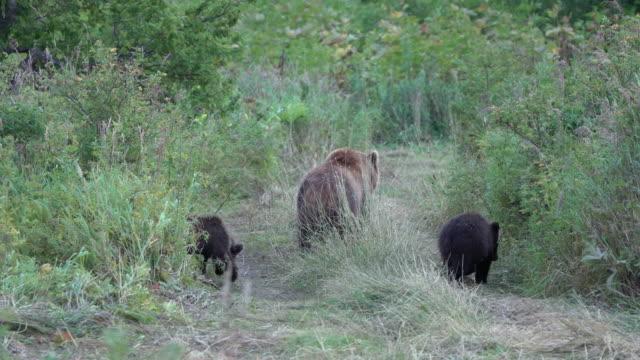 カムチャツカ茶色の彼女クマは、3つのクマの子と森を出て、面白い年の獣と田舎の道を歩きます - シベリア点の映像素材/bロール