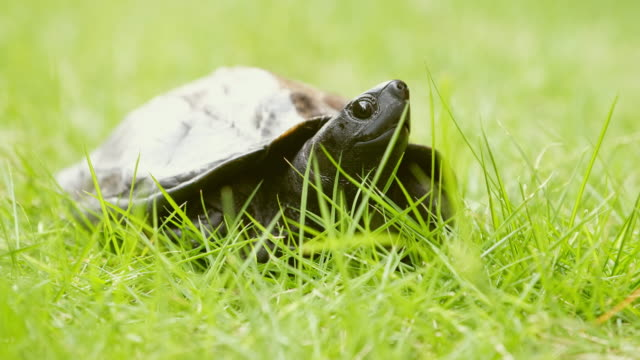 Kame Turtle in Japan A domesticated turtle in Japan. tortoise stock videos & royalty-free footage