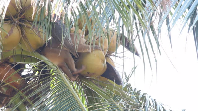 """""""Kang"""" Macaque Monkey """"Kang"""" Macaque Monkey for keeping coconut at southern of Thailand coconut palm tree stock videos & royalty-free footage"""