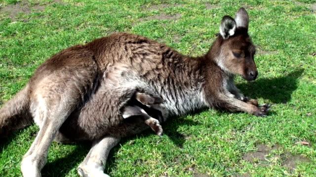 kangaroo and joey video