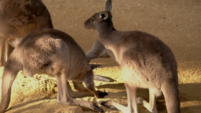 kangaroo annoys bothers hits another kangaroo in head