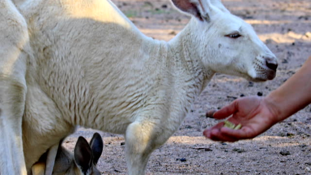 kangaroo eating from hand video