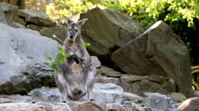 kangaroo feeding, baby looking from female bag feeding family of cute kangaroo Red necked Wallaby, Female kangaroo with looking baby from bag kangaroo stock videos & royalty-free footage