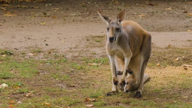 kangaroo female with young video