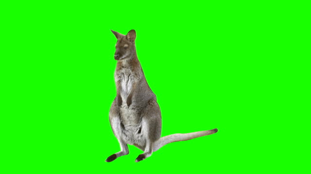 Kangaroo in front of green Kangaroo in front of green screen looks at the camera and hops right leaving the scene. Shot with red camera. Ready to be keyed. kangaroo stock videos & royalty-free footage