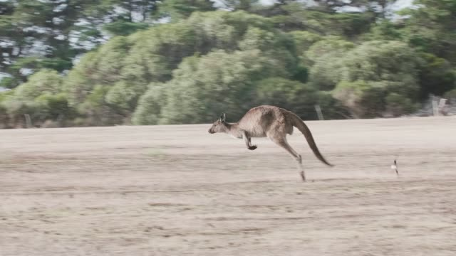 Kangaroo Island Kangaroo jumping Kangaroo Island Kangaroo jumping follow shot kangaroo stock videos & royalty-free footage
