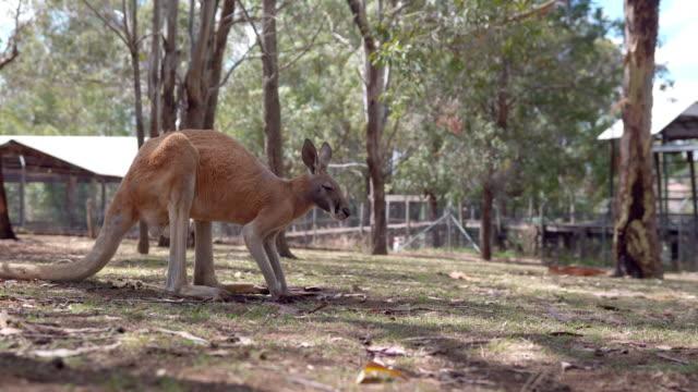 Kangaroo jumping around on a farm video