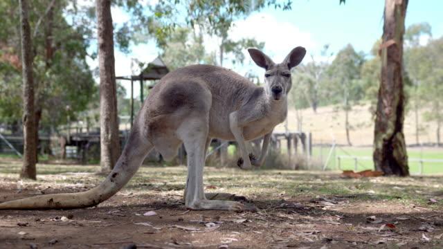 Kangaroo jumping around on an Australian farm video