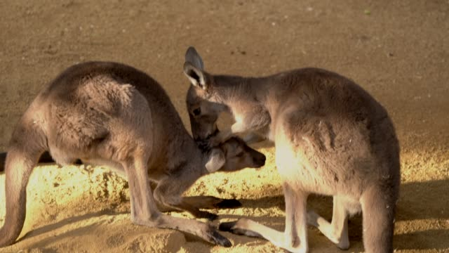 kangaroo kisses top of another kangaroo's head tenderly