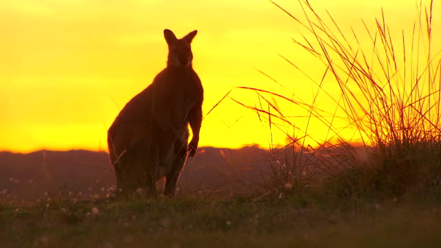 Kangaroo - native Australian marsupial video