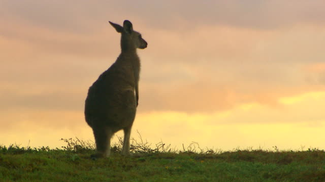 Kangaroo - native Australian marsupial Kangaroo - native Australian marsupial kangaroo stock videos & royalty-free footage