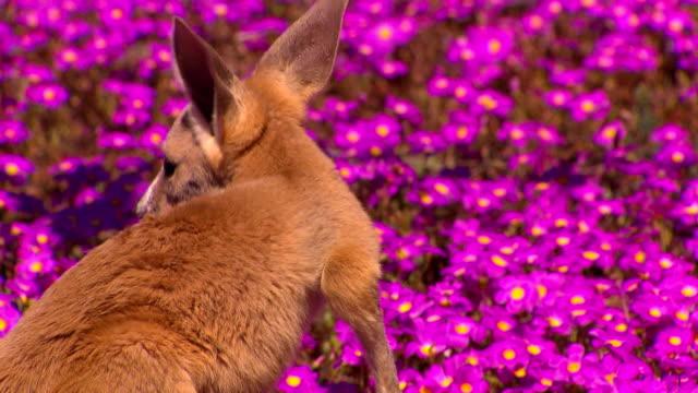 Kangaroo - native Australian marsupial video